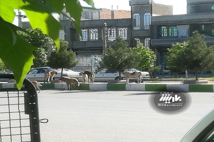 جولان سگ ها در خیابان های نوشین شهر