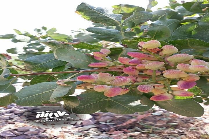 درخت پسته منطقه قوشچی