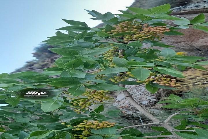 تصویری از درخت پسته کوه المهدی