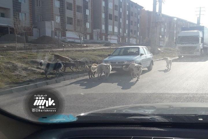 جولان سگ های ولگرد در شهرک گلمان