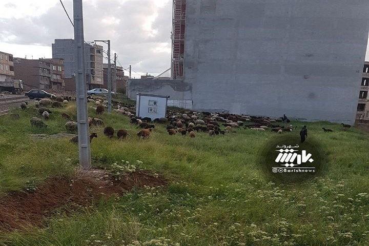 چرای گوسفندان اینبار رودکی / خیابان پیام