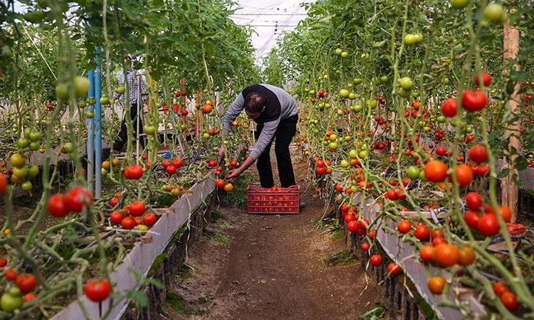 کشت گلخانهای ظرفیت خاموش اقتصاد آذربایجانغربی