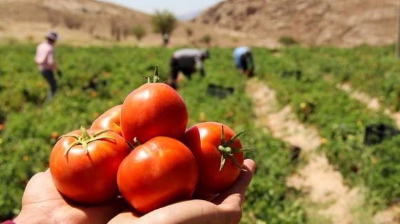 قیمت گوجهفرنگی با کیفیت آن رابطه مستقیم دارد