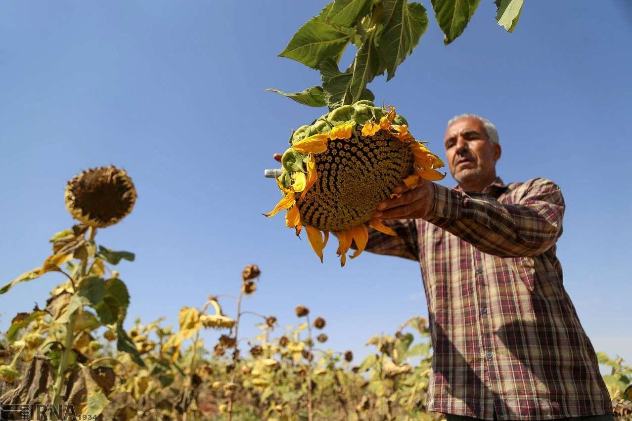 تخمآفتابگردان آذربایجانغربی، ظرفیت برند جهانی دارد