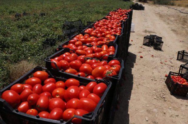 محدودیتی برای خرید و فروش گوجه فرنگی وجود ندارد
