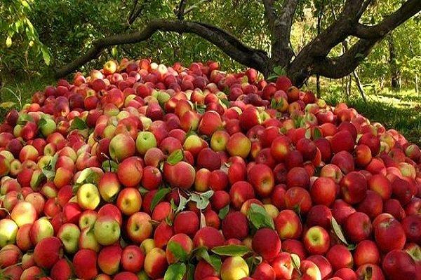 دلایل نامعلومی که سیب ارومیه را بیمشتری کرد
