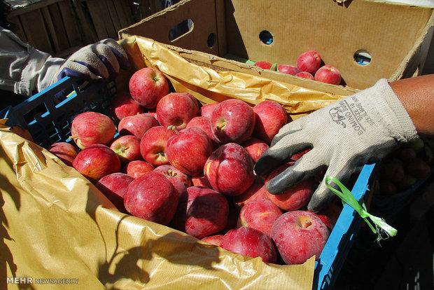 باغداران از فروش سیب در بازار ارومیه خودداری میکنند