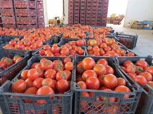 قیمت گوجهفرنگی در ارومیه کاهش مییابد