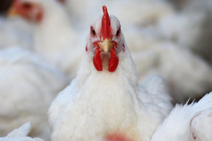 قیمت مرغ در پرچین 15 هزار تومان ماند