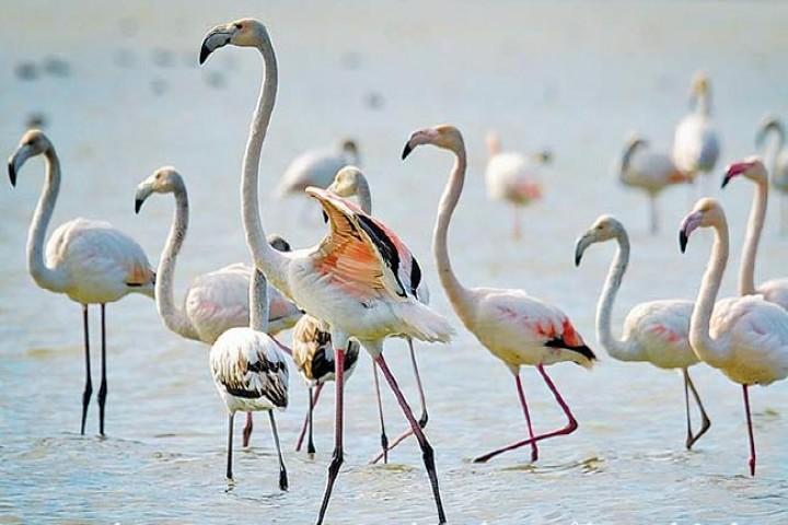 فلامینگوها، مهمان بهاری دریاچه ارومیه