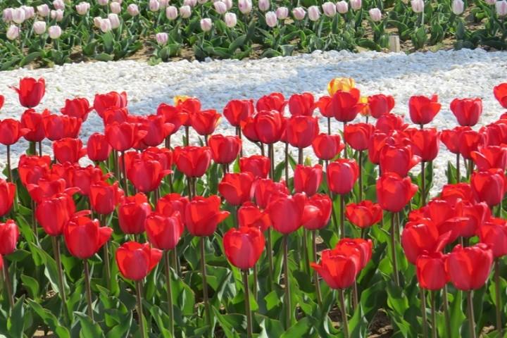 200 هزار بوته گل لاله مهمان بهاری ارومیه