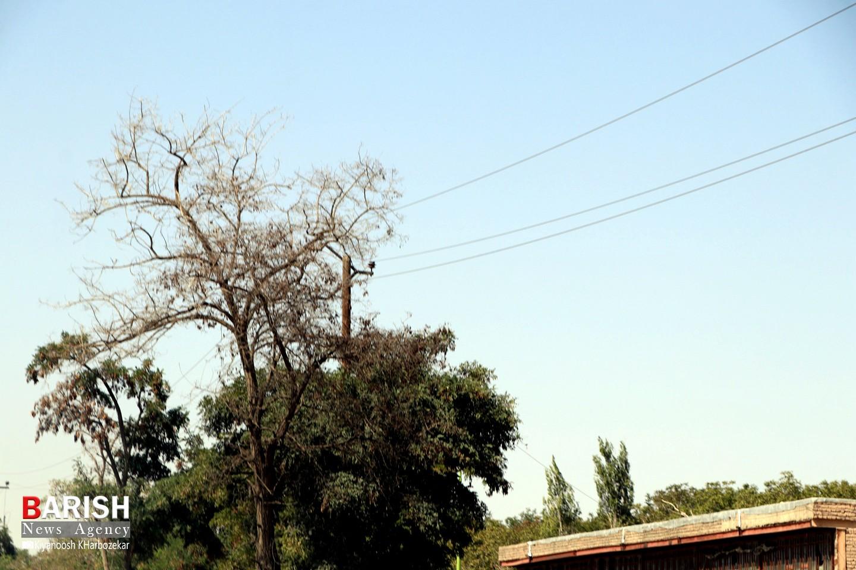 خشک شدن برخی درختان جاده چی چست