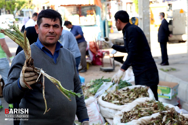 آغاز فصل برداشت و فروش گیاهان کوهی خوراکی در ارومیه