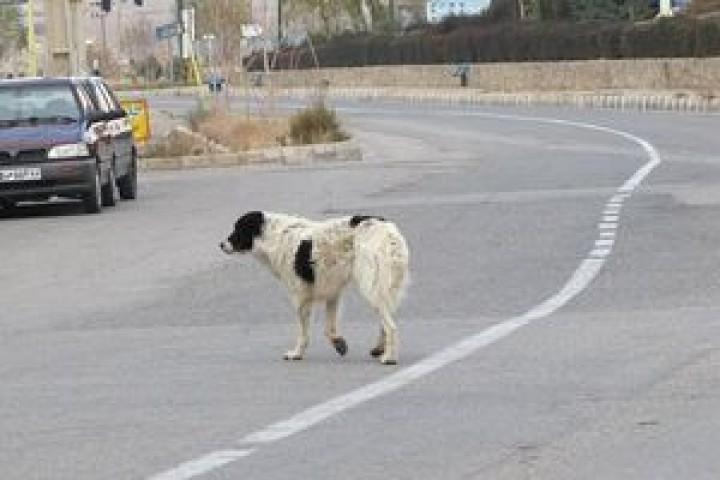 خیابانها و کوچههای ارومیه محل جولان سگهای ولگرد/ بیتوجهی مسئولان نسبت به جمعآوری آنها