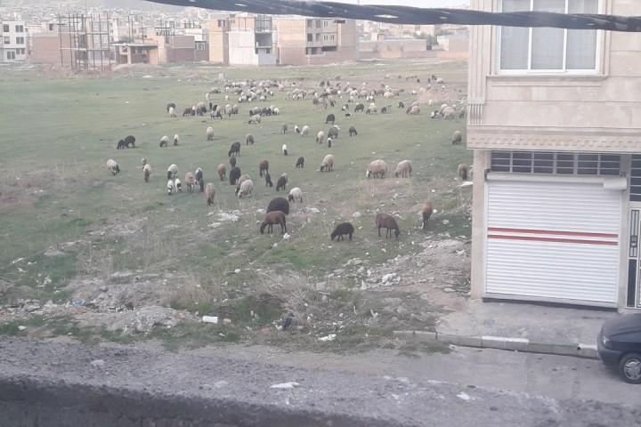 تبدیل محدوده شهری ارومیه به چراگاه گوسفندان/چه کسی پاسخگو است؟!