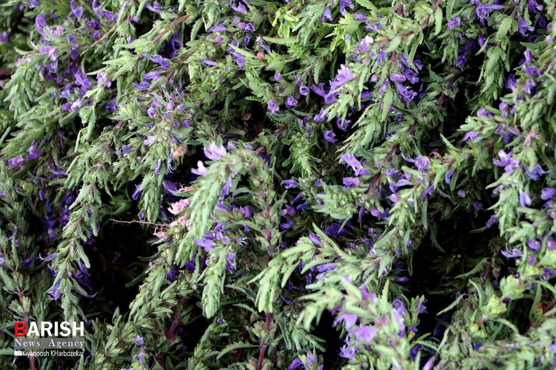 بادرنجبو گیاهی معطر در دل باغ های ارومیه