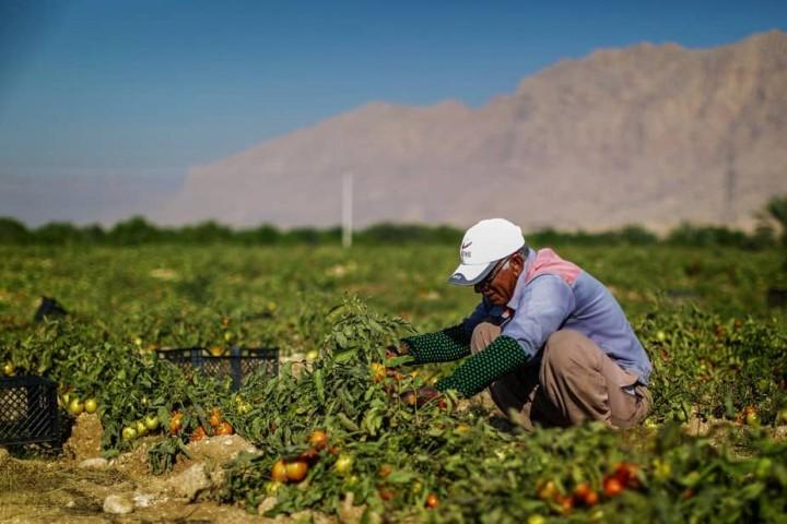 دست دلالان در جیب کشاورزان آذربایجان غربی