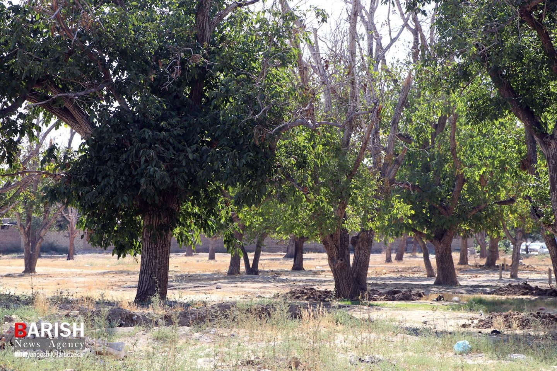 بلاتکلیفی باغ گردو در منطقه دیگاله ارومیه