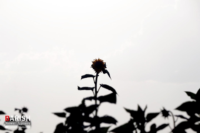 گلهای آفتابگردان مزارع ارومیه