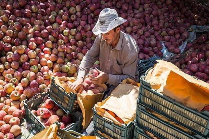 ناهمخوانی آمار صادرات سیب با واقعیت