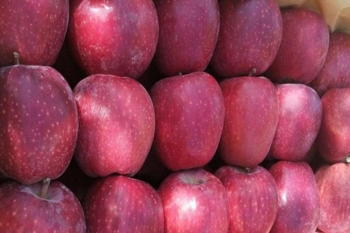 سیب هایی که در دست باغداران آذربایجان غربی ماند!