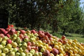 بیتدبیری مسئولان گریبان سیب آذربایجانغربی را گرفت