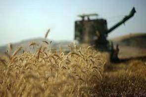 مشکلات گندمکاران در تحویل محصول/پای دلالان در میان است؟