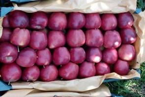 له شدن سیب آذربایجان غربی زیر سایه بی تدبیری مسئولین