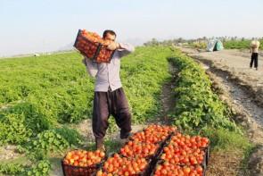 لزوم حمایت از محصول گوجهفرنگی در آذربایجانغربی