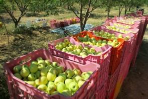 هزینه های جانبی کمر باغداران آذربایجان غربی را شکست