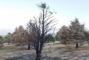 خشک شدن درختان پارک جنگلی ارومیه ؛ معضلی دردناک که از چشم مسئولان پنهان مانده است