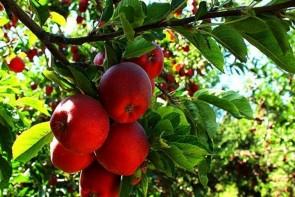 صادرات ناکام، حسرتی که هر سال بر دل باغداران سیب می ماند/باغداران آذربایجان غربی چشم انتظار حمایت مسئولان