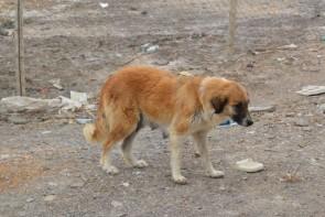 ضرورت ساماندهی سگ های خیابانی در ارومیه از سوی مسئولان شهری