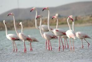 فلامینگوهای دریاچه ارومیه را دریابید